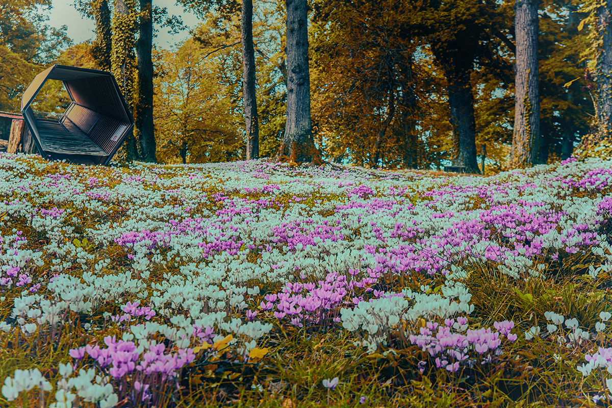 03-cyclamens-au-chateau-alteribes-couleurs-04