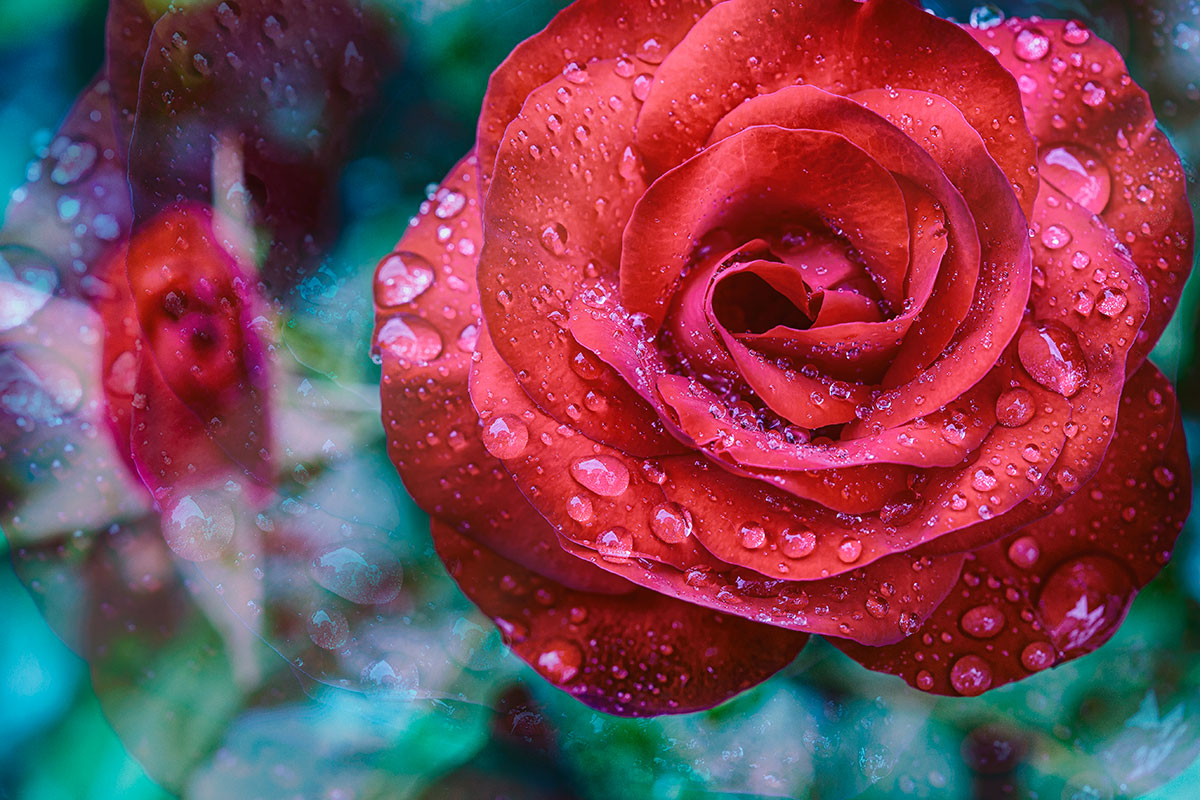 03-la-rose-rouge-art-lindo-photography-macro-couleurs