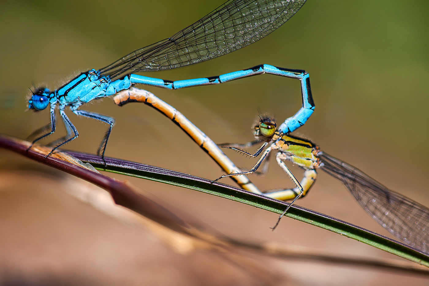 03-les-libellules-agrion-bleu-accouplement-art-lindo-photography-hd