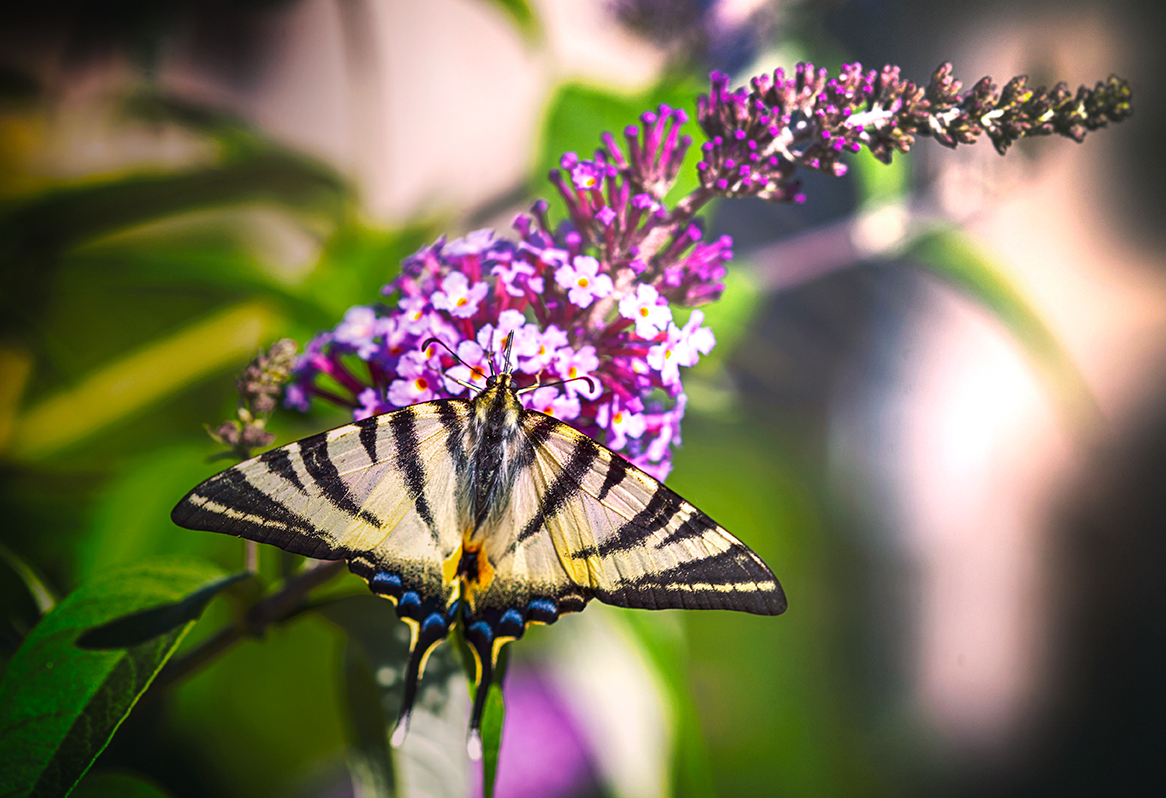 03-macro-papillon-le-grand-machaon-arbre-fleurs-mauves