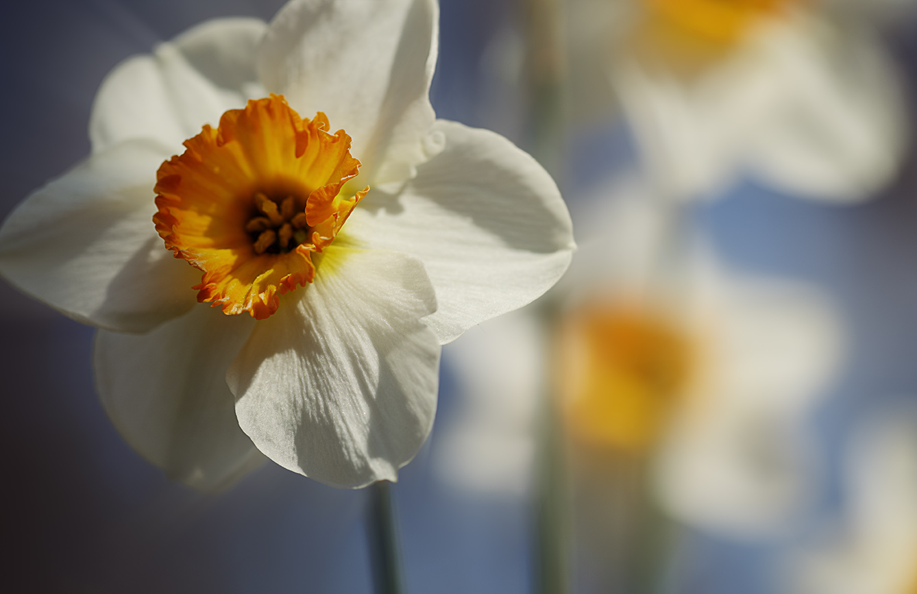 fleurs-narcisses-macro-art-lindo-photography-res72