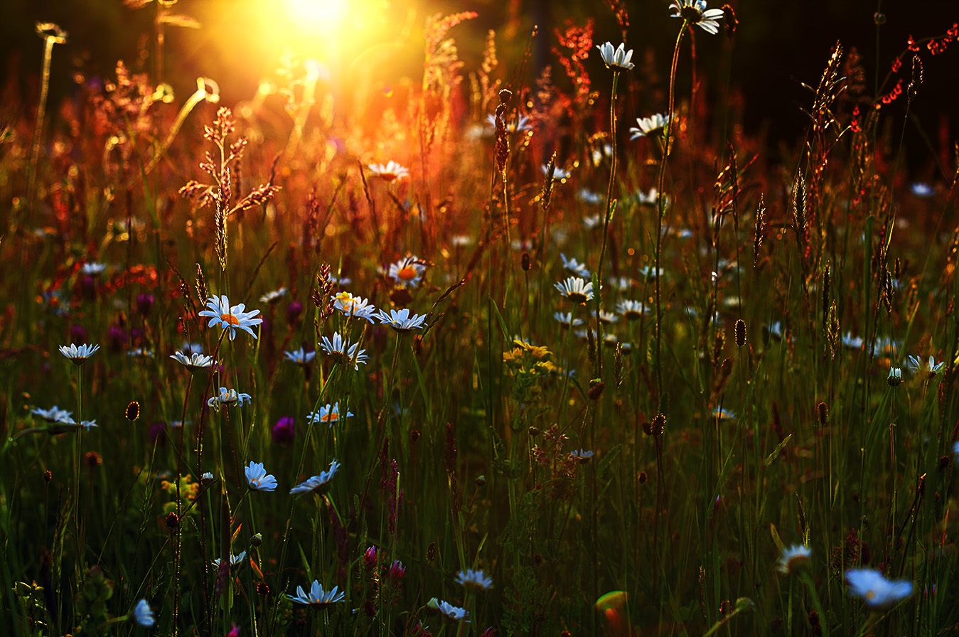 les-marguerites-contre-jour-art-lindo-photography-res72